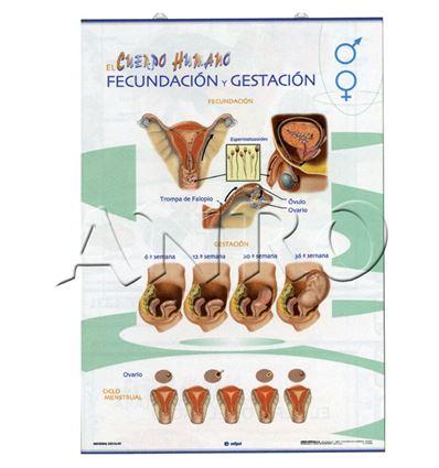 LAMINA EDIGOL PRIM. ORG. REPROD/FECUNDACION-GEST 70X100CM - 4701322