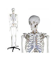 Esqueleto estandar - 64194466